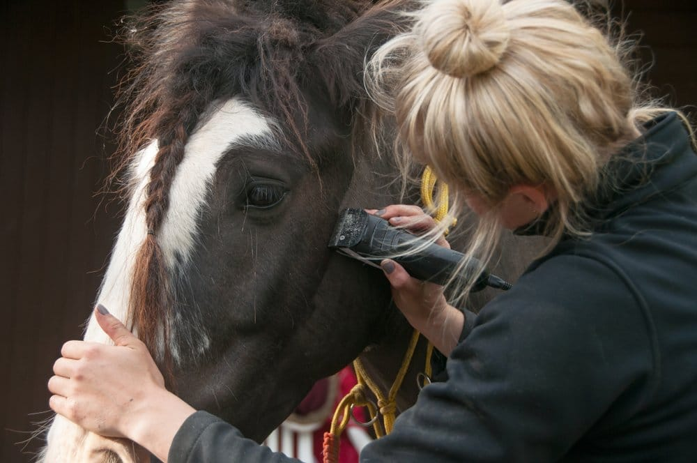 Young lady clipping horse