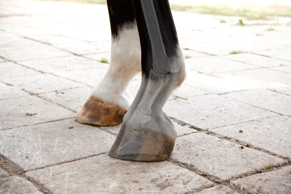 Magnetic horse boot therapy