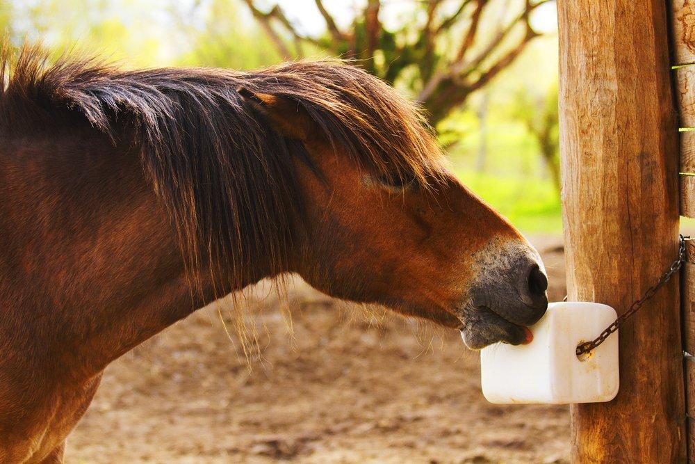 Pony eating salt lick